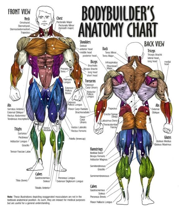 Bodybuilders chart